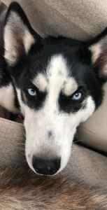 Free Husky Stud Listing Image