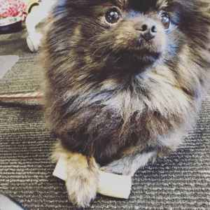 Black tan Pomeranian looking for a tiny boy Listing Image