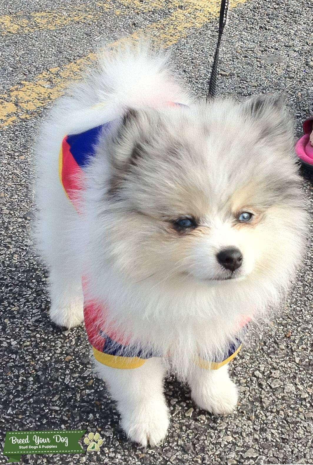 Beautiful Markings,Blue Eyed, Blue Merle Pure Breed Pomeranian Stud Listing Image Big