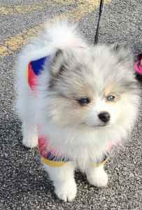 Beautiful Markings,Blue Eyed, Blue Merle Pure Breed Pomeranian Stud Listing Image