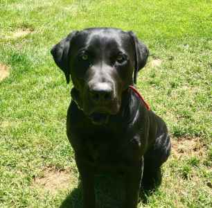 Black Labrador Stud Listing Image