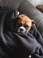 Registered Male Boxer For Stud Listing Image