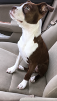 Beautiful young Red Boston terrier AKC 3rd Generation  Listing Image