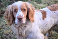 KC Reg Stud Dog - Proven Sire - Working Cocker Spaniel Listing Image