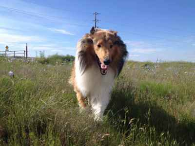 Rough Collie Stud Listing Image
