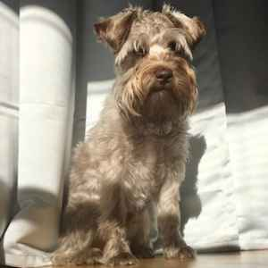 Initially Chocolate Brown, Now Silver Surfer Male Mini Schnauzer  Listing Image