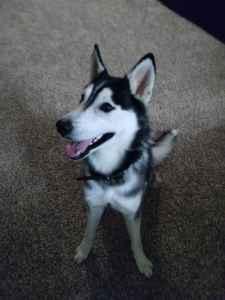Handsome Bi-Eyed Siberian Husky Listing Image