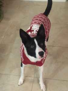Looking for female Border Collie to breed Listing Image