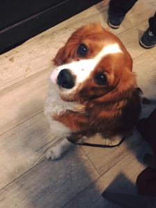 Gorgeous and healthy Cavalier King Charles Listing Image