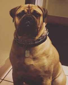 Handsome Bull Mastiff  Listing Image