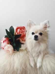 Breeding Female Pomeranian Mix Listing Image