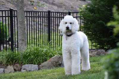 AKC White Standard Poodle Stud Listing Image