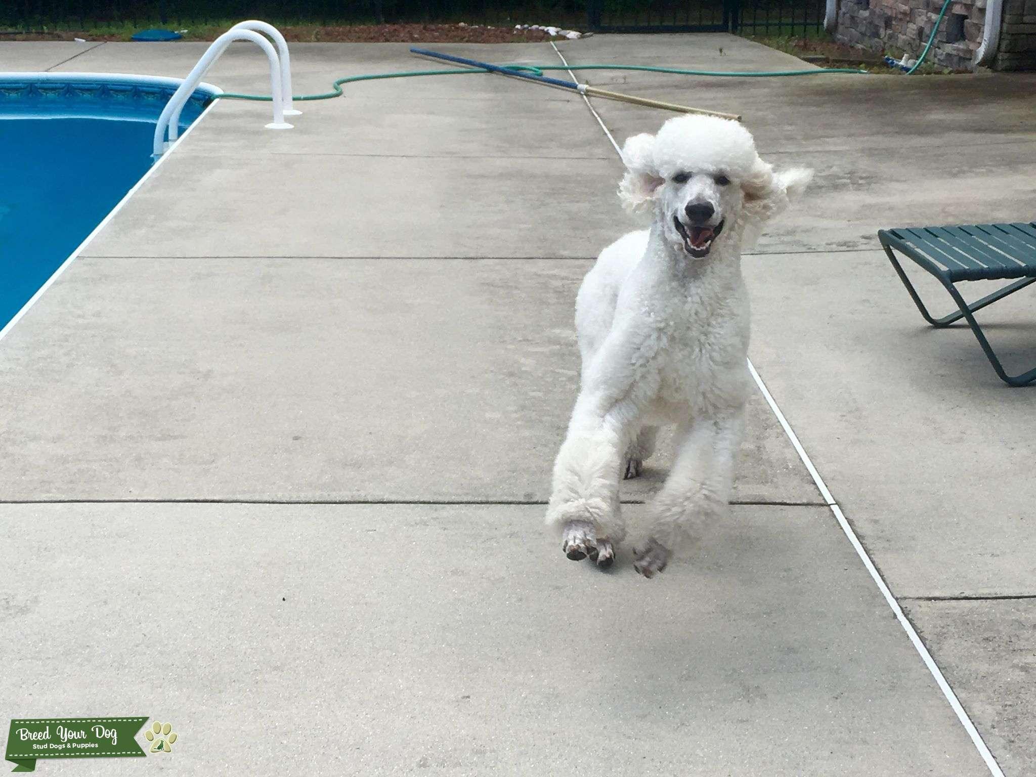 AKC White Standard Poodle Stud Listing Image Big