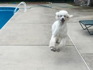 AKC White Standard Poodle Stud Listing Image Thumbnail