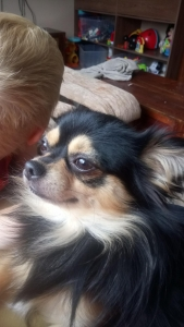 Beautiful long haired tri chihuahua for stud Listing Image