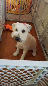Female soft coat wheaten terrier  Listing Image