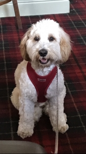 Male cockapoo for stud Listing Image