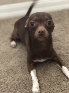 Deer head Chihuahua stud Listing Image