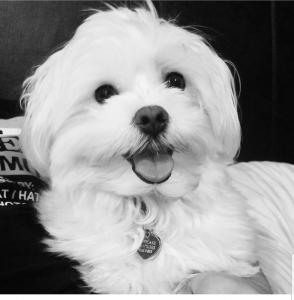 Maltese Boy - handsome and smart Listing Image