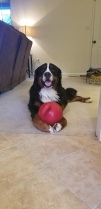 2yr. Old Bernese Mountain Dog AKC registered Listing Image