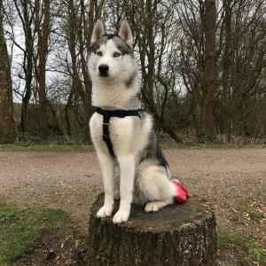 KC REGISTED Siberian husky for stud Listing Image