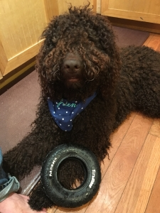 Chocolate Standard Poodle looking for female Golden or Labrador Retriever Listing Image