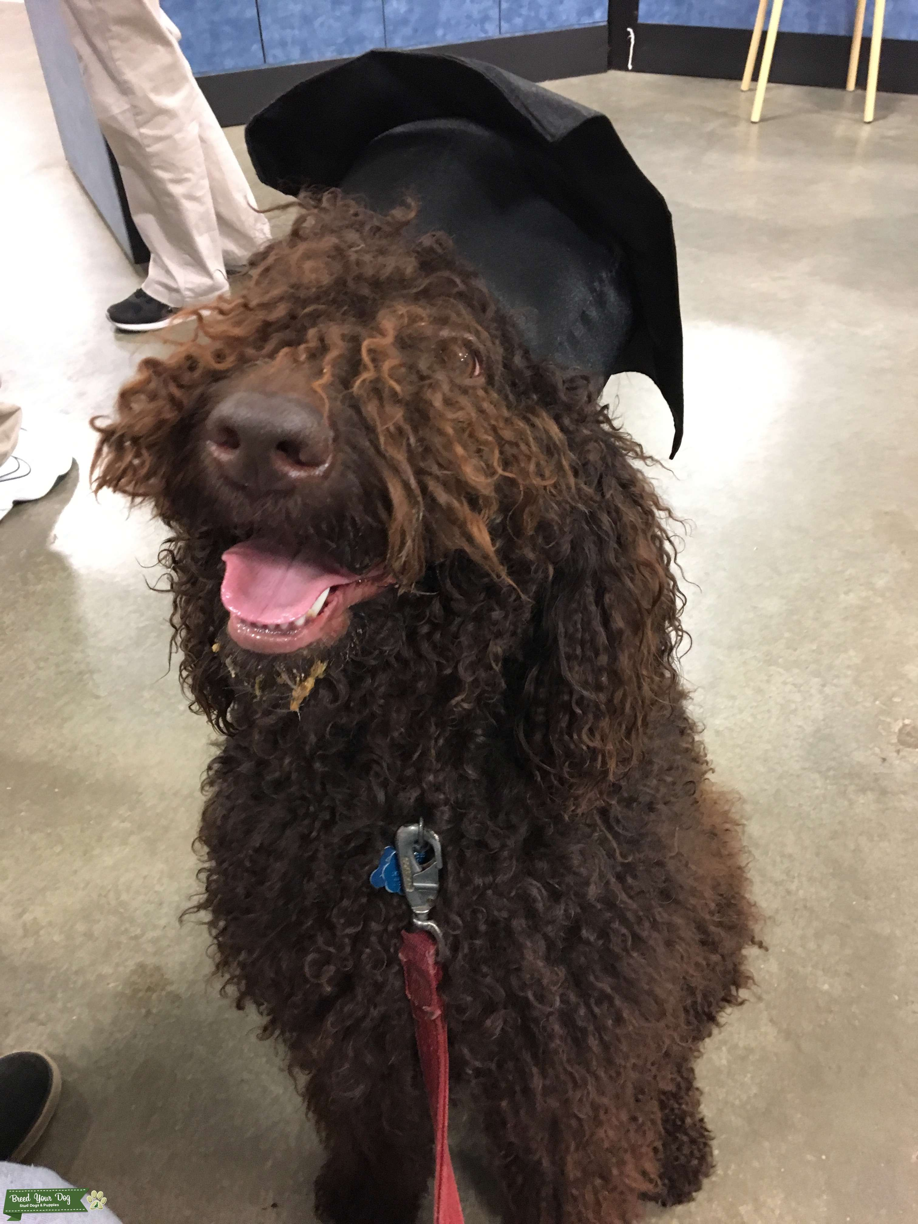 Chocolate Standard Poodle looking for female Golden or Labrador Retriever Listing Image Big