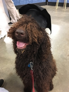 Chocolate Standard Poodle looking for female Golden or Labrador Retriever Listing Image Thumbnail