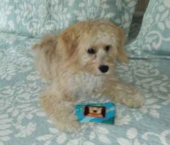 Ruby Male Cavachon available stud.  Listing Image
