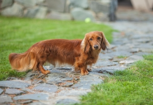 Pedigree Long Haired Miniature Dachshund For Stud Listing Image Thumbnail