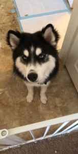 Siberian Husky Stud Listing Image