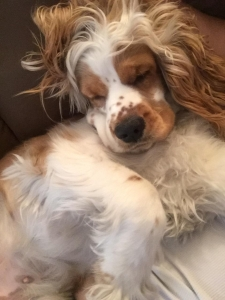 Beautiful female cocker spaniel for first-time breeding Listing Image Thumbnail
