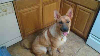 Akc male German shepherd Listing Image