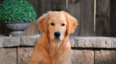 AKC Registered Golden Retriever Stud Service Listing Image