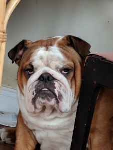 English Bulldog stud Listing Image