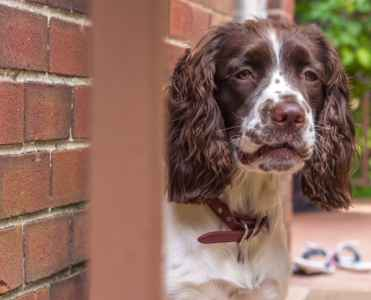 Englist Springer Spaniel Gorgeous Male Listing Image
