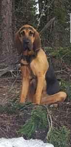 Bloodhound Stud Listing Image