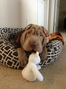 Gorgeous AKC Shar Pei looking for a girlfriend  Listing Image