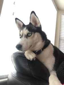 Too Beautiful female  Siberia Husky Listing Image