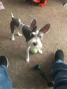 Salt and Pepper Male Miniature Schnauzer Listing Image