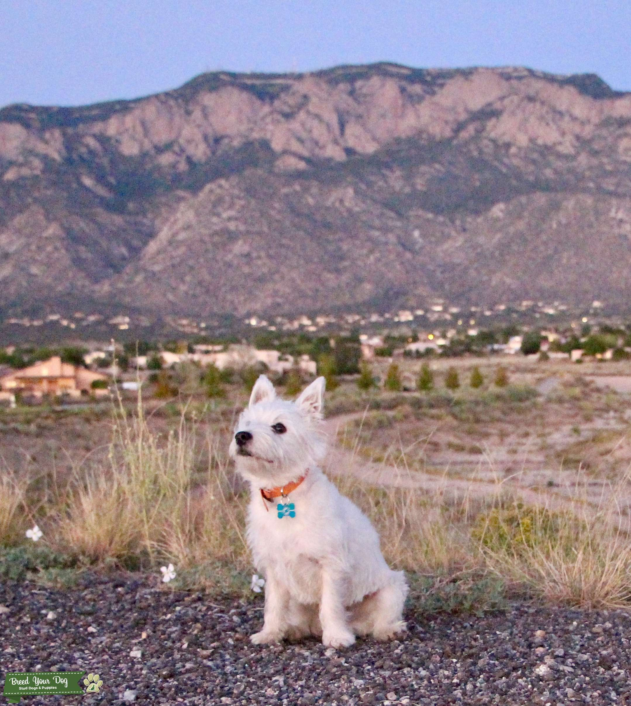 White West Highland Terrier  Listing Image Big