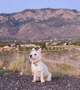 White West Highland Terrier  Listing Image