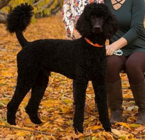 Standard Poodle Stud Listing Image