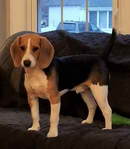 Wonderful Beagle, Frankie is ready to be a dad for the first time. Listing Image