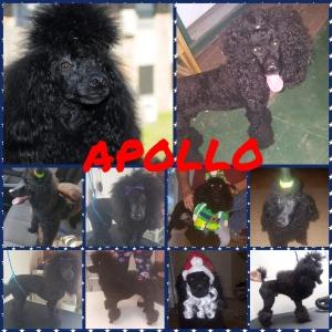 Introducing Apollo, AKC miniature poodle stud Listing Image