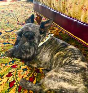 Beautiful and Stout Scottish Terrier forvSTUD Listing Image