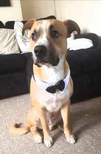 Staffordshire bull terrier x Border Collie  Listing Image