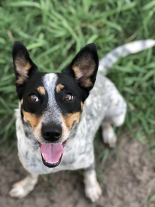 Blue Heeler/Mix Stud Wanted Listing Image