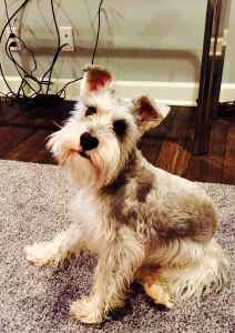 AKC registered mini schnauzer Listing Image
