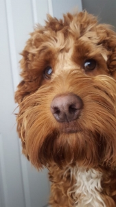 Red/apricot cockapoo  Listing Image